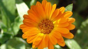 Koristne rastline v naravni kozmetiki